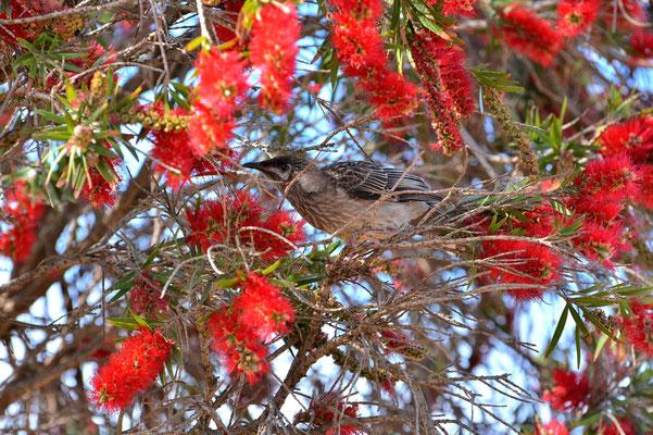 Australien, Australia, South Australia, Kangaroo Island, Landschaft, Banksia, Blüten, Vogel