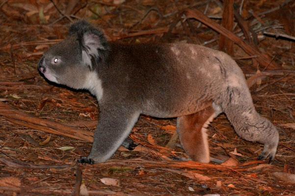 Australien, Australia, South Australia, Kangaroo Island, Landschaft, Nacht, Wanderung, Koala, Spaziert auf dem Boden