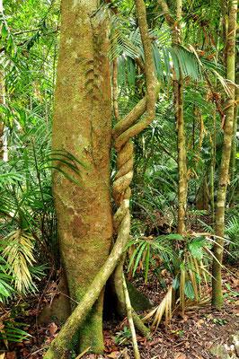 Australien, Australia, Ostaustralien, Ostküste, Queensland, Landschaft, Regenwald, Cairns, Kuranda