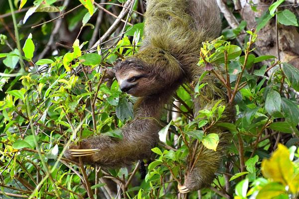 Pura Vida - Costa Rica - Fauna - Dreifinger Faultier