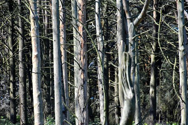 Litauen, Rundreise, Landschaft, Halbinsel Kurische Nehrung, Wald