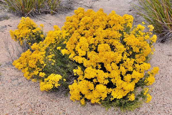 Australien, Australia, Westaustralia, Western Australia, Landschaft, Busch, Blume, Gelb