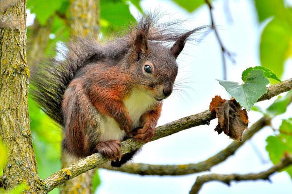 Foto - Eichhörnchen - schwarz - wartet - auf dem Baum