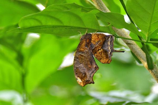 Pura Vida - Costa Rica - Fauna - Schmetterling - Braun