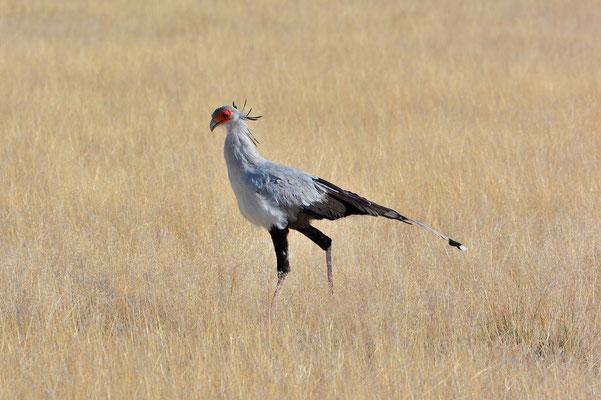 Namibia - Rundfahrt - Reise - Rundreise - Etosha National Park - Sekretär