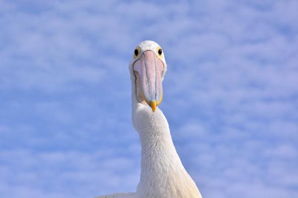 Australien, Australia, South Australia, Kangaroo Island, Landschaft, Vogel, Pelikan, Pelican