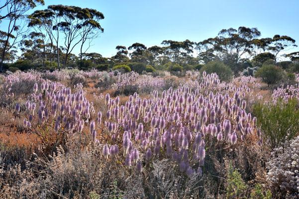Australien, Australia, Westaustralia, Western Australia, Landschaft, Busch, Blume, Gelb, Karlkurla Bushland Park