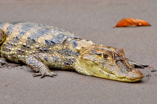 Pura Vida - Costa Rica - Fauna - Krokodil