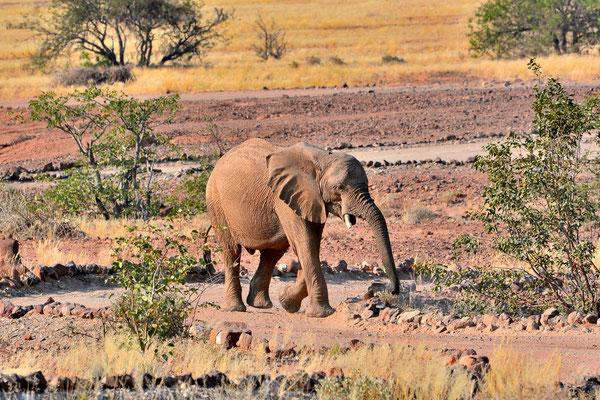 Namibia - Rundfahrt - Reise - Rundreise - Twyfelfontain - Landschaft - Elefant