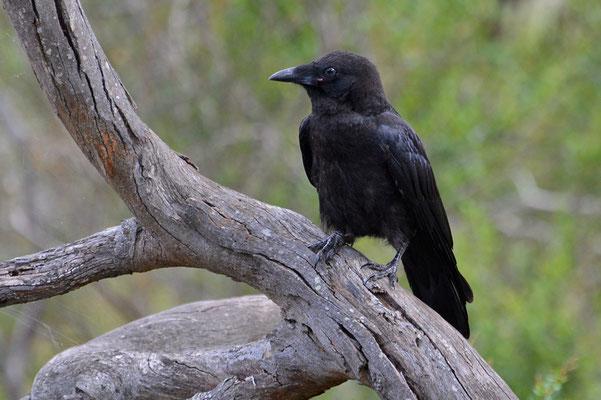 Australien, Australia, South Australia, Kangaroo Island, Landschaft, Vogel, Schwarz, Australian Raven, Corvus Coronoides, Neuhollandkrähe