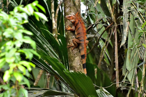 Pura Vida - Costa Rica - Fauna - Vogel - Grüner Leguan - Orange