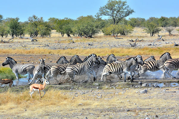 Namibia - Rundfahrt - Reise - Rundreise - Etosha National Park - Zebra
