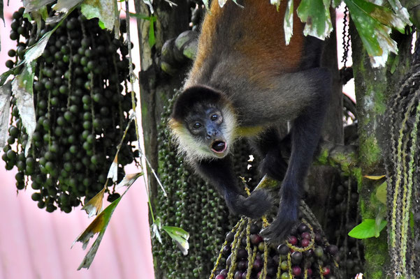 Pura Vida - Costa Rica - Fauna - Brüllaffe