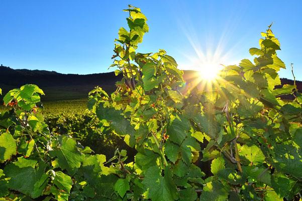 Frankreich, Elsass, Landschaft, Weinberg, Weinbau, Sonne