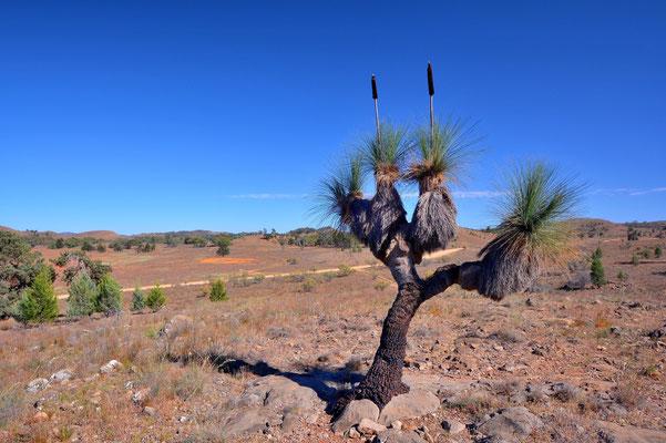Australien, Australia, Südaustralien, South Australia, Landschaft, Baum, Flinders Ranges