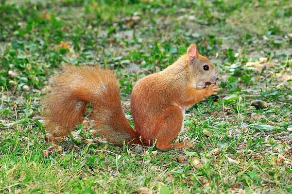Foto - Eichhörnchen - rot - Eichel - fressen - im Park