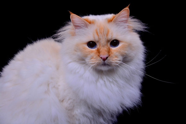 Heilige Birma Männchen, Tierfotografie, Katze, StudioHeilige Birma Männchen, Tierfotografie, Katze, Studio