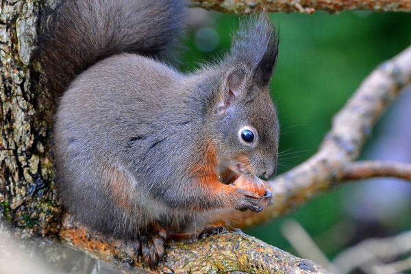 Foto - Eichhörnchen - schwarz - Nuß - fressen - auf dem Baum