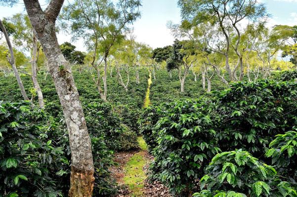 Pura Vida - Costa Rica - Kaffeeplantage
