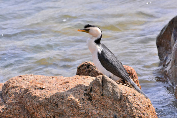 Australien, Australia, South Australia, Kangaroo Island, Landschaft, Wasservogel, Kormoran, Black Faced Cormorant
