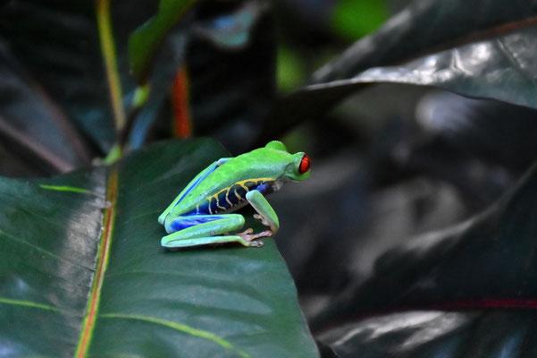 Pura Vida - Costa Rica - Fauna - Rotaugenlaubfrosch