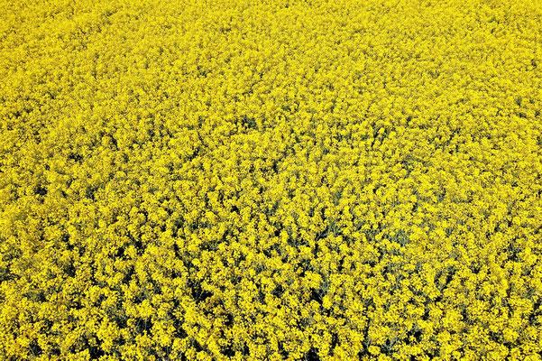 Vogelperspektive, Drohnenfoto, Drohnenbild, Luftaufnahme, Bayern, Rapsfeld, Gelb, Landwirtschaft