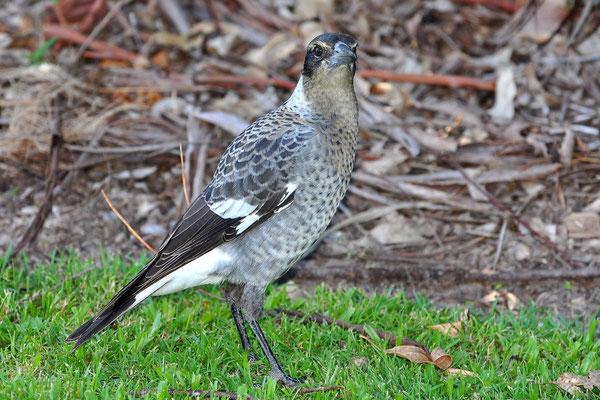 Australien, Australia, Ostaustralien, Ostküste, Queensland, Landschaft, Vogel, Grau