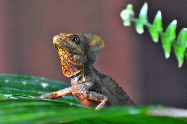 Pura Vida - Costa Rica - Fauna - Leguan