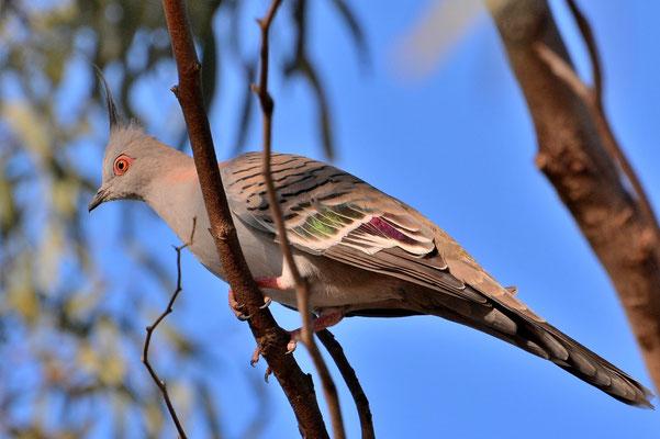 Australien, Australia, Südaustralien, South Australia, Landschaft, Vogel, Haubentaube, Crested Pigeon
