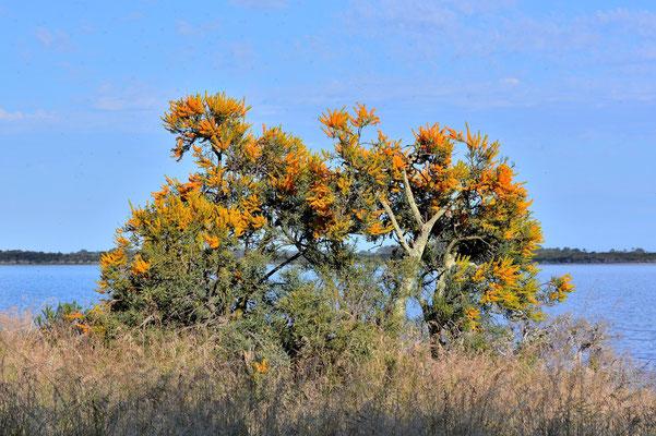 Australien, Australia, Westaustralia, Western Australia, Landschaft, See, Baum, Busch