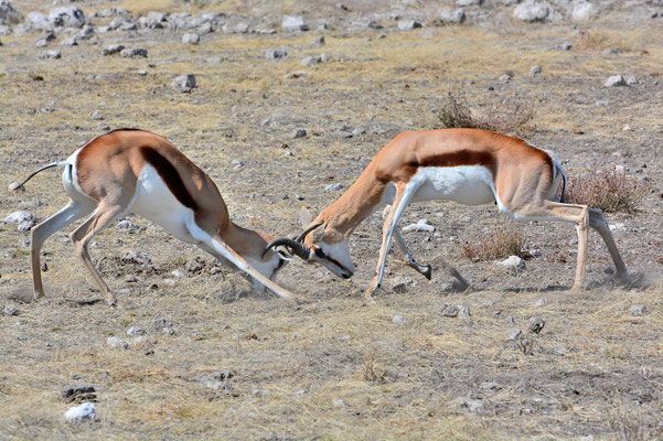 Namibia - Rundfahrt - Reise - Rundreise - Etosha National Park - Springbock