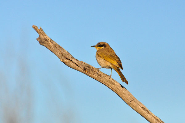 Australia - Australien -Zentralaustralien - Outback - Northern Territory - Landschaft - Vogel