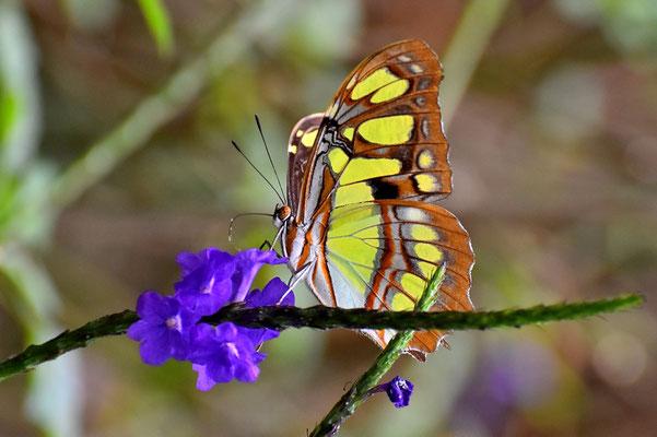 Pura Vida - Costa Rica - Fauna - Schmetterling
