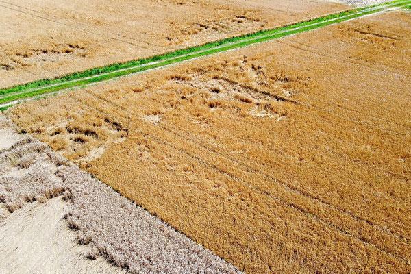 Vogelperspektive, Drohnenfoto, Drohnenbild, Luftaufnahme, Bayern, Feld, Grün, Braun, Getreide, Landwirtschaft, Rollen, Streifen, Sommer