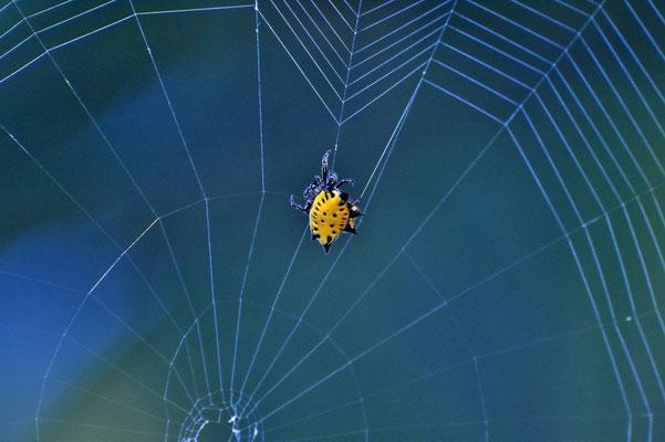 Pura Vida - Costa Rica - Fauna - Spinne - Eckig - Gelb