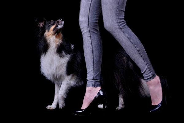 Sheltie, Tierfotografie, Hund, Studio