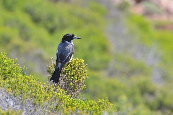 Australien, Australia, Westaustralia, Western Australia, Landschaft, Vogel, Schwarz, Grau, Grey Butcherbird
