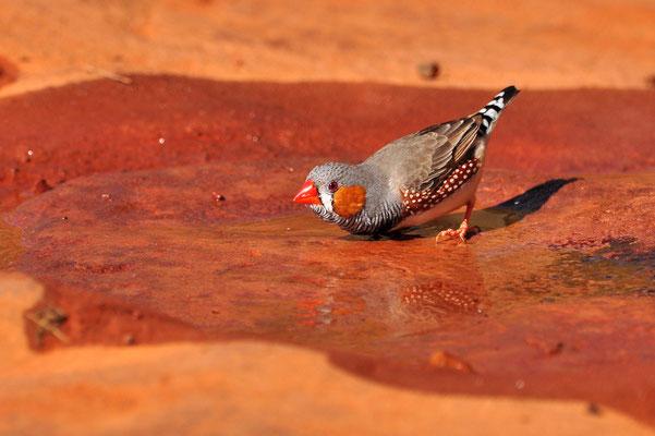 Australia - Australien -Zentralaustralien - Outback - Northern Territory - Landschaft - Vogel - Grau - Rot - Zebrafink - Zebra Finch