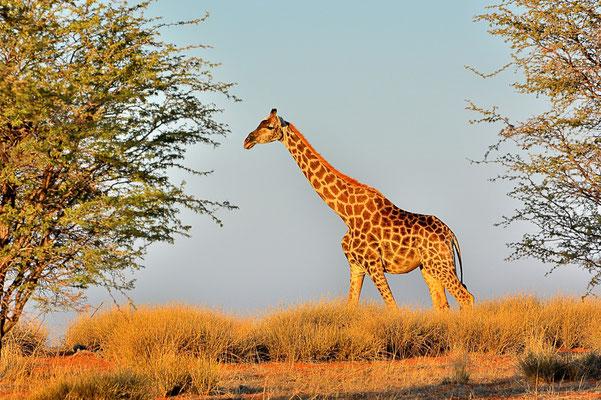 Namibia - Rundfahrt - Reise - Rundreise - Landschaft - Kalahari - Giraffe