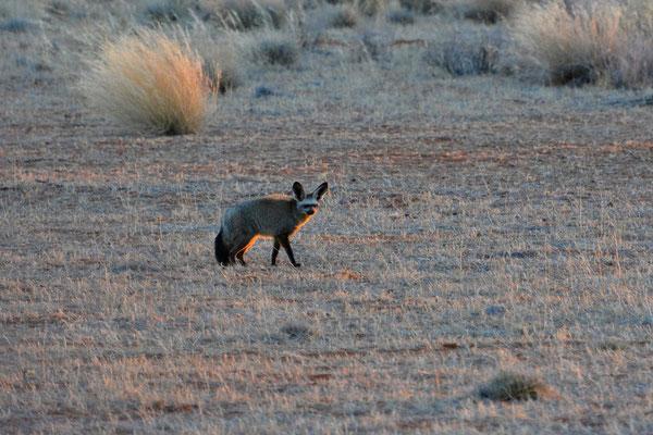 Namibia - Rundfahrt - Reise - Rundreise - Landschaft - Kalahari - Löffelhund