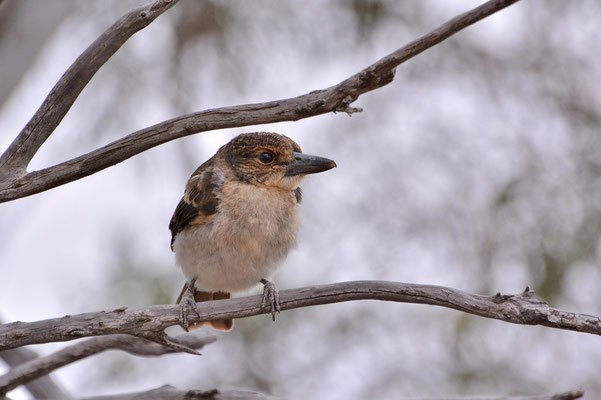 Australien, Australia, Westaustralia, Western Australia, Landschaft, Vogel, Grau, Grey Butcherbird