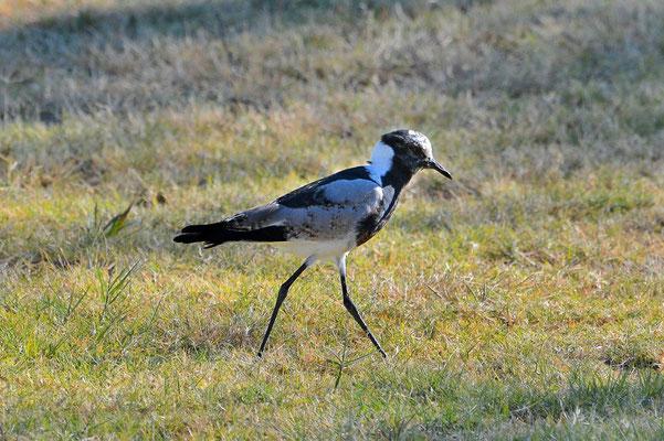 Namibia - Rundfahrt - Reise - Rundreise - Etosha National Park -Waffenkiebitz