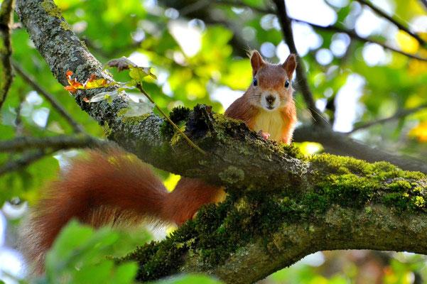 Foto - Eichhörnchen - rot - wartet - beobachtet - auf dem Baum