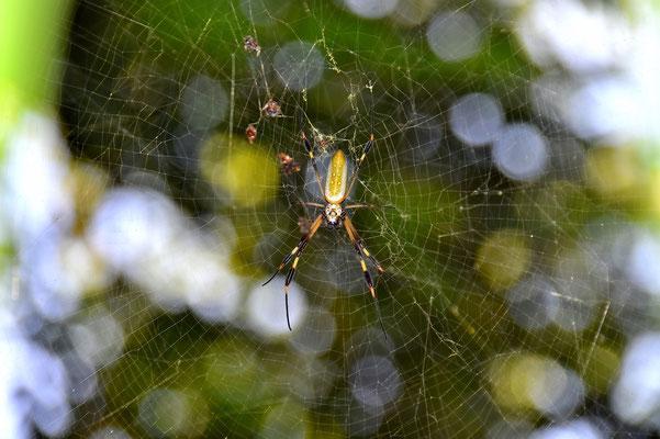 Pura Vida - Costa Rica - Fauna - Spinne