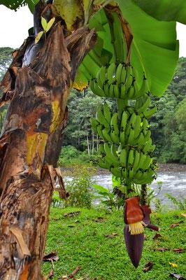 Pura Vida - Costa Rica - Pflanzen - Blumen - Bäume - Banane