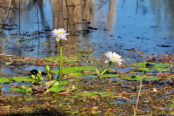 Australien, Australia, Nordaustralien, Northern Territory, Landschaft, See, Spiegelung, Kakadu Nationalpark, Yellow Water River Cruise