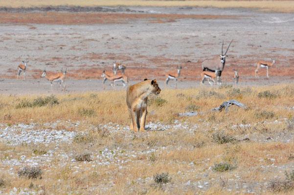 Namibia - Rundfahrt - Reise - Rundreise - Etosha National Park - Löwe