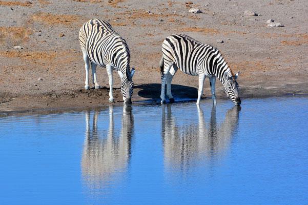Namibia - Rundfahrt - Reise - Rundreise - Etosha National Park - Steppenzebra