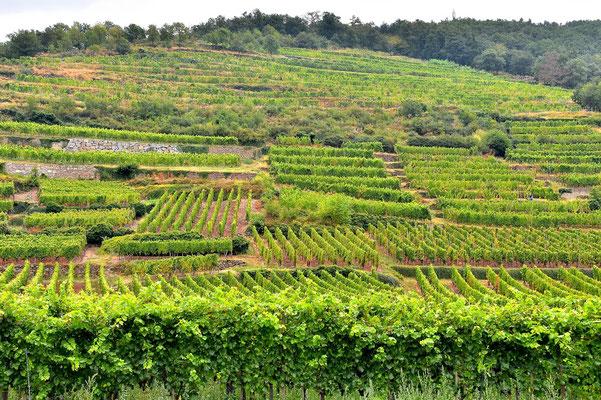 Frankreich, Elsass, Landschaft, Weinberg, Weinbau, Trauben