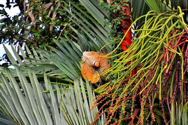 Pura Vida - Costa Rica - Fauna - Lizard - Grüner Leguan - Orange